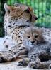 Geparden Familie 14