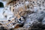 Geparden Familie 16
