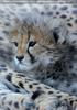 Geparden Familie 17