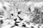 Geparden Familie 18