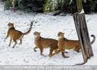 Geparden Fütterung 05