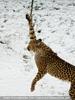 Geparden Fütterung 09