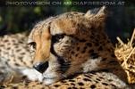 Geparden Kopf