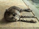 Gepard ganz langsam