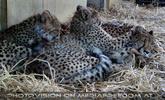 Gepardenfamilie 01