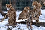Gepardenfamilie 02