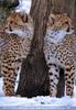 Gepardenfamilie 04