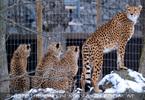 Gepardenfamilie 05