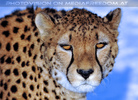 Gepardenfamilie 06