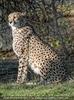 Gepardin