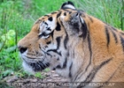 Im Tigerhaus 7