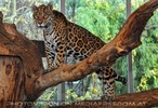 Jaguar 06