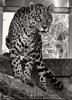 Jaguar 08