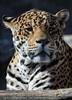 Jaguar Ausblick