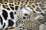 Jaguar Baby eingeschlafen