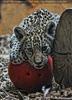 Jaguar Baby mit Ball