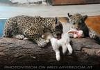 Jaguar Babys futtern