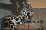 Jaguar Blick