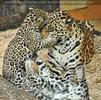 Jaguar Familie