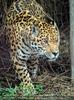 Jaguar im Dickicht