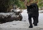Jaguar im Schnee 02