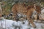 Jaguar im Schnee 03