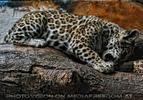 Jaguar Junges