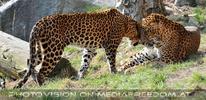 Jaguar Liebe