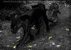 Jaguar Nacht
