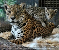 Jaguar obacht
