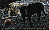 Jaguar und Panther Vision
