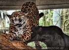 Jaguar und Panther