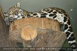 Jaguar schläft