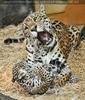 Jaguar spielt mit Baby