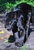 Jaguar Streifzug