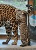 Jaguarbaby ärgert Mama