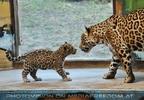 Jaguarbaby grüßt Mama