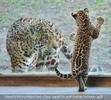 Jaguarbaby grüßt Papa
