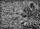 Jaguarbaby konzentriert