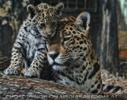 Jaguarbaby kuschelt