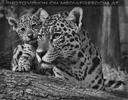 Jaguarbaby mit Mama