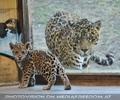 Jaguarbaby mit Papa