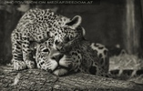 Jaguarbaby schmust mit Mama