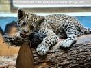 Jaguarbaby spielt