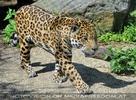 Jaguare 01