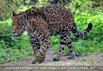 Jaguare 02