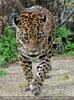 Jaguare 05