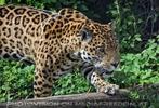 Jaguare 10