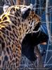 Jaguare 7