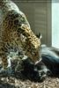 Kuschelnde Jaguare